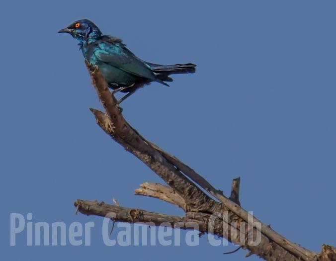 GREATER BLUE EARED STARLING PILANESBERG SA