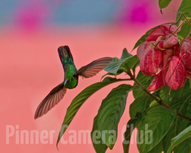 LESSER ANTILLEAN HUMMINGBIRD ST LUCIA-2