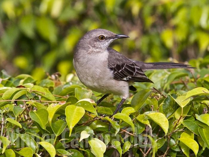 MOCKING BIRD FLORIDA-3