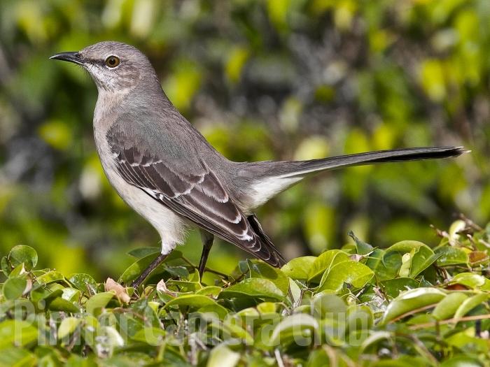 MOCKING BIRD FLORIDA