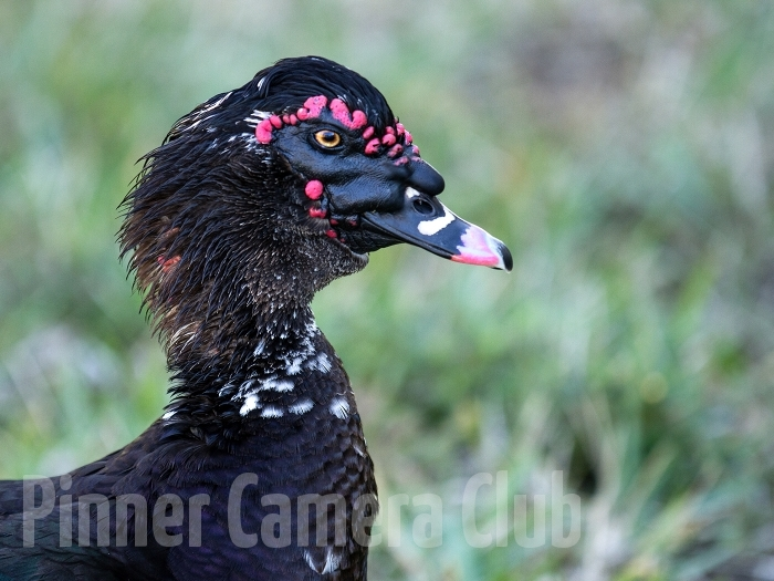 MUSCOVY DUCK FLORIDA