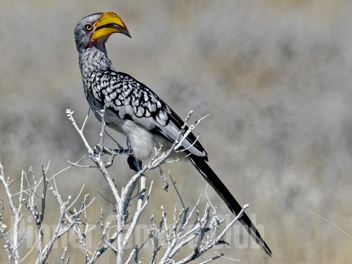 YELLOW HORNBILL NAMIBIA