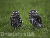 little-owls-by-martin-roberts-edit