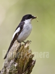 spotted-pied-flycatcher_male-by-martin-roberts