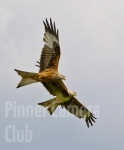 two-for-one-red-kite-by-martin-roberts