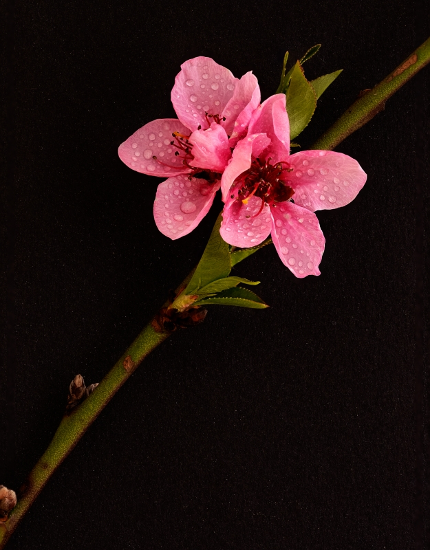 Michael-Lurie-Cherry-Blossom