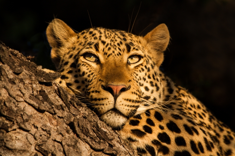 Michael-Lurie-Leopard-at-Rest