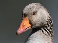 Michael-Lurie-Goose