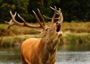 Singing-Deer-by-Simon-Mee