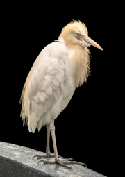 CATTLE-EGRET-by-Veronica-Hill