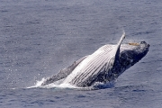 HUMPBACK-WHALE-by-Veronica-Hill