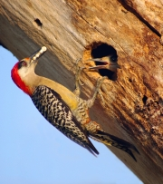 WEST-INDIAN-WOODPECKER-FEEDING-ITS-CHICK-by-Veronica-Hill